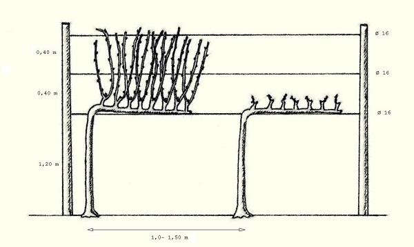 forme-di-allevamento-cordone